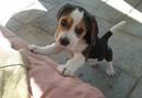 Söt beagle