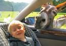 Glad åsna hälsar på i bilen