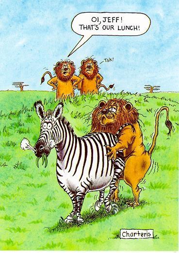 Ett lejon har sex med en zebra