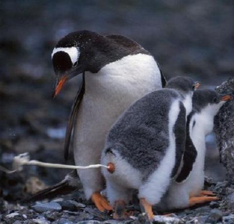 En liten pingvin kör ett partytrick.
