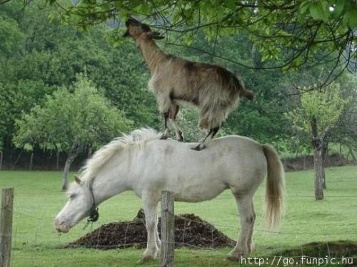 Fint sammarbete mellan häst och get