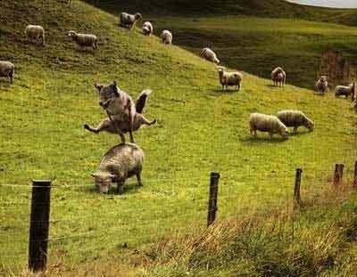 När fåraherden tittar bort