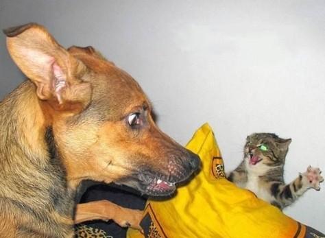 Katt överaskar hund