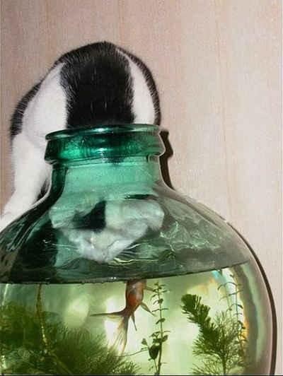 Katt sugen på guldfisk