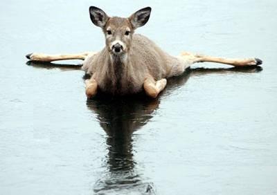 Bambi på is