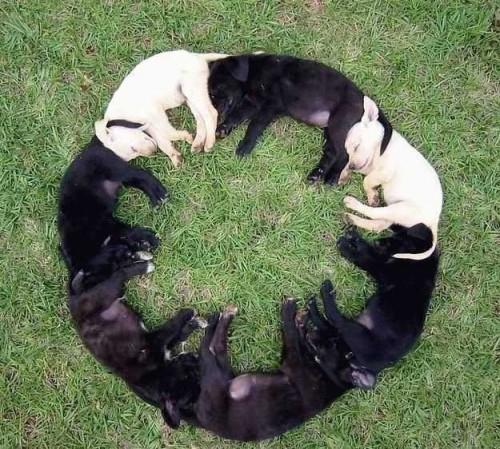 Hundar sover i ring