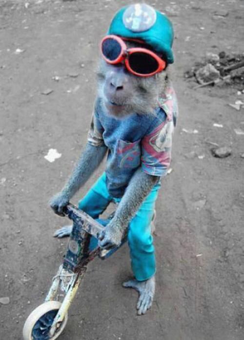 Cool apa på liten cykel